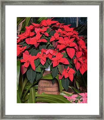 Red Poinsettia Framed Print by Kathleen Struckle