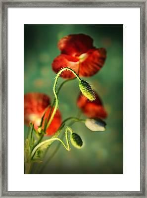 Red Poppies In The Evening Framed Print by Jaroslaw Blaminsky
