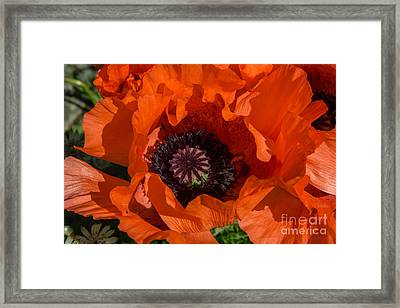 Red Poppies Open Framed Print by Iris Richardson