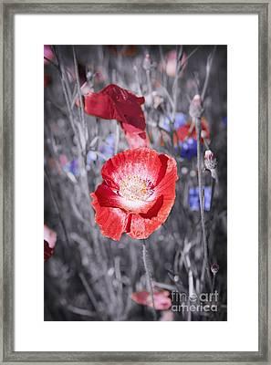 Red Poppy Flower Framed Print by Elena Elisseeva