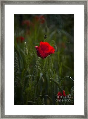 Red Poppy Framed Print by Svetlana Sewell