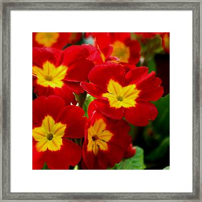Red Primroses Framed Print by Art Block Collections