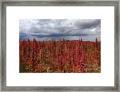 Red Quinoa Stormy Skies Framed Print by James Brunker