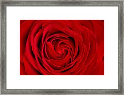 Red Rose Framed Print by Aqnus Febriyant