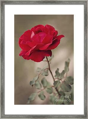Red Rose Framed Print by Diana Kraleva