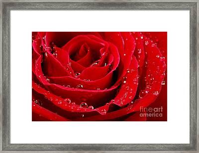 Red Rose Framed Print by Elena Elisseeva