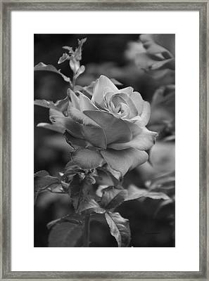 Red Rose In Bw Framed Print by Thomas Woolworth