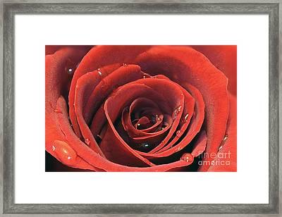Red Rose Framed Print by Lars Ruecker