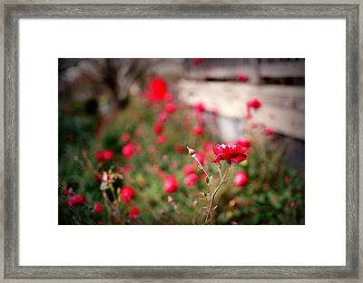 Red Roses On Film Framed Print by Linda Unger