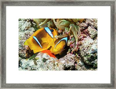 Red Sea Anemonefish Spawning Framed Print by Georgette Douwma
