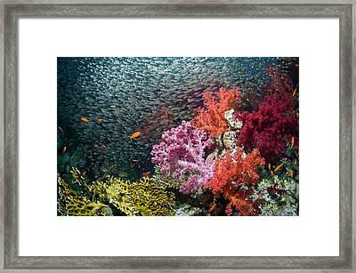Red Sea Dwarf Sweepers And Soft Coral Framed Print by Georgette Douwma
