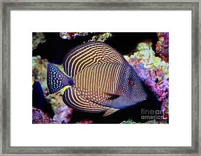 Red Sea Sailfin Tang Framed Print by Wernher Krutein