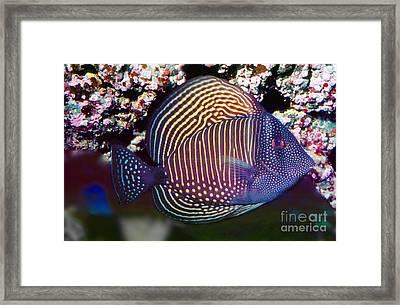 Red Sea Sailfin Tang  Zebrasoma Desjardinii Framed Print by Wernher Krutein