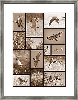 Red-shouldered Hawk Collage Framed Print by Carol Groenen