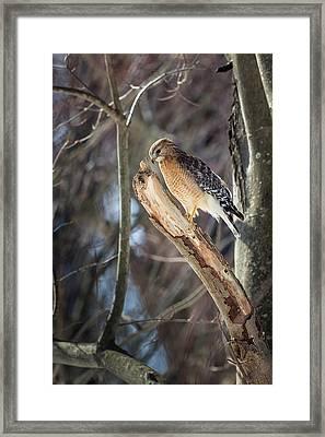 Red Shouldered Hawk Portrait Framed Print by Bill Wakeley