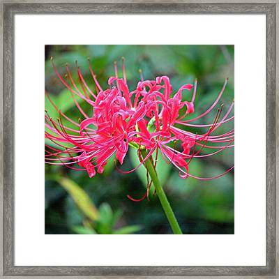 Red Spider Lily Enhanced Framed Print by Suzanne Gaff