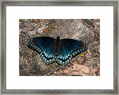 Red Spotted Purple Butterfly Framed Print by Lara Ellis