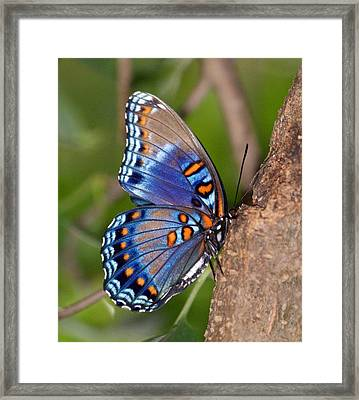 Red Spotted Purple Butterfly Framed Print by Sandy Keeton