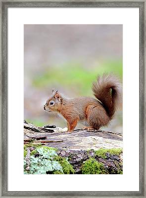 Red Squirrel Framed Print by Colin Varndell