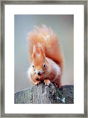 Red Squirrel Eating A Nut Framed Print by Bildagentur-online/mcphoto-schulz