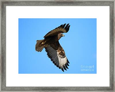 Red-tail Flight Framed Print by Mike Dawson