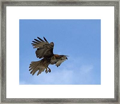 Red Tail Hawk Framed Print by Bill Gallagher