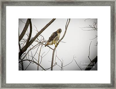 Red Tail Hawk Framed Print by Cris Hayes