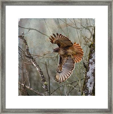 Red-tail Hawk In Flight Framed Print by Angie Vogel