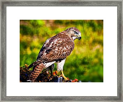 Red Tail Hawk Framed Print by Michael Toy