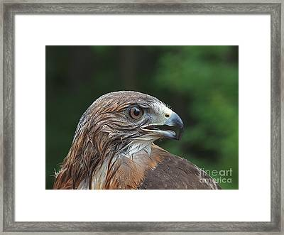Red Tail Hawk Rain Framed Print by Peter Gray