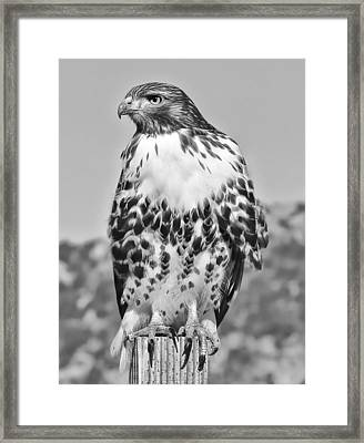 Red Tail Hawk Youth Black And White Framed Print by Jennie Marie Schell