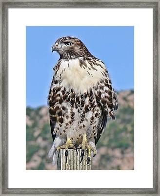 Red Tail Hawk Youth Framed Print by Jennie Marie Schell