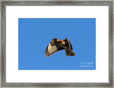 Red-tail Hover Framed Print by Mike  Dawson