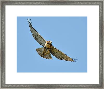 Red Tail In Flight Framed Print by Angel Cher