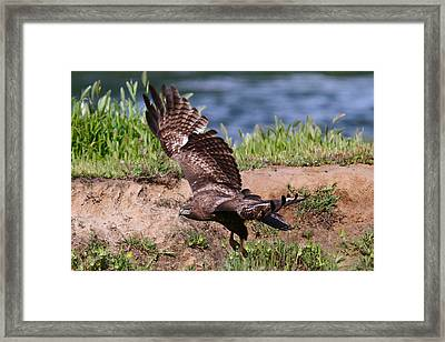 Red Tail On The Hunt Framed Print by Paul Marto