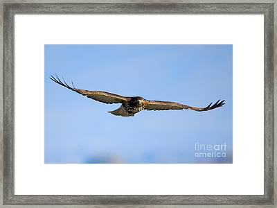 Red -tail Stare Framed Print by Mike Dawson