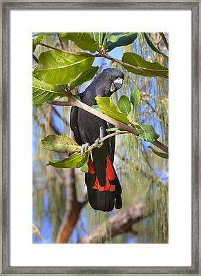 Red-tailed Black-cockatoo Queensland Framed Print by Martin Willis