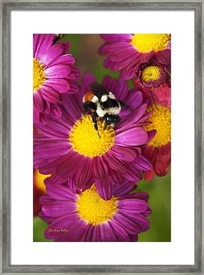 Red-tailed Bumble Bee Framed Print by Christina Rollo