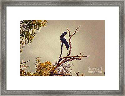 Red-tailed Cockatoo Framed Print by Cassandra Buckley