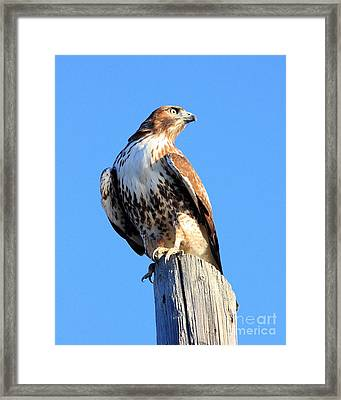 Red-tailed Hawk . 40d10167 Framed Print by Wingsdomain Art and Photography