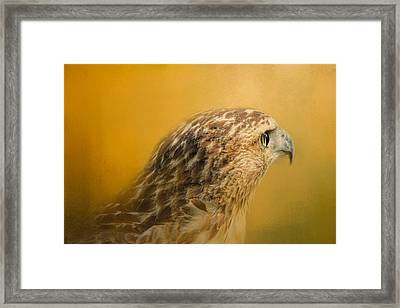 Red Tailed Hawk At Sunset Framed Print by Jai Johnson
