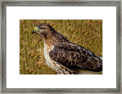 Red Tailed Hawk Close Up Framed Print by John Absher