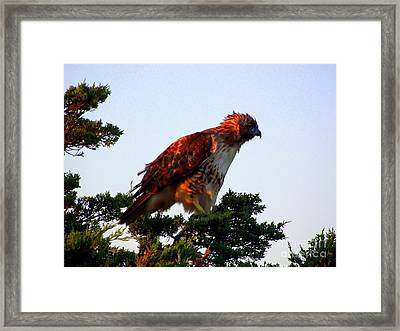 Red-tailed Hawk Fluff Up Framed Print by CapeScapes Fine Art Photography