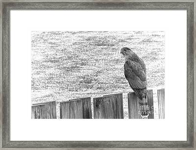 Red Tailed Hawk  Framed Print by Olivier Le Queinec