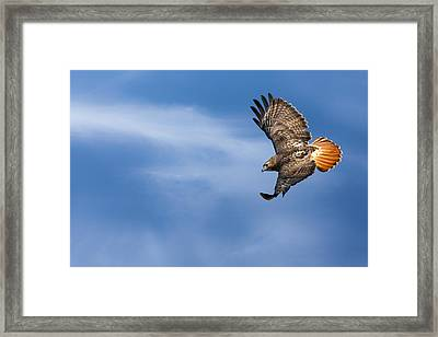 Red Tailed Hawk Soaring Framed Print by Bill Wakeley