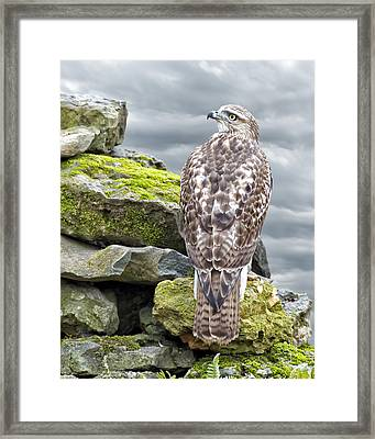 Red Tailed Hawk Framed Print by Steven  Michael