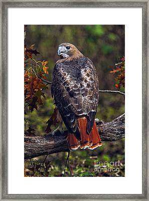 Red Tailed Hawk Framed Print by Todd Bielby