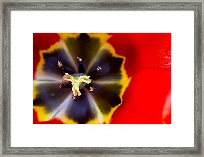 Red Tulip Macro Framed Print by Adam Romanowicz