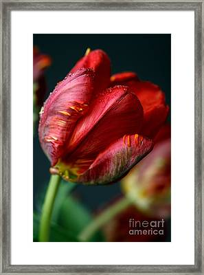 Red Tulip With Dew Framed Print by Nailia Schwarz