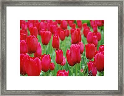 Red Tulips Framed Print by Jennifer Ancker
